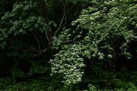 5月24日 ヤブデマリ 秋畑 - 光画日記