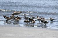 夏羽のシギチ - Bird Healing