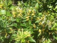 甘ーい香りを漂よわせるスイカズラの花が満開 - 蔵カフェ飯島茶寮