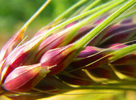 麦いろいろ - 農と自然のさんぽみち・やまだ農園日記