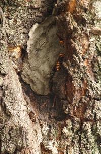 驚きの日本ミツバチ - hibariの巣