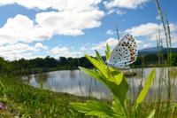 東御市のオオルリシジミ(2018/5/20) - Sky Palace -butterfly garden- II