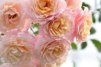 国際バラとガーデニングショウ2018 素敵なバラ編 - 今日の小さなシアワセ