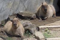 カピバラの親子の水遊び - 動物園放浪記