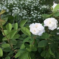 オールドローズ マダムアルディ -  お花とハーブのアトリエ muguette