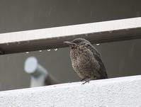 今日の鳥さん 180523 №2 - 万願寺通信