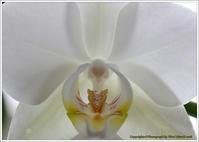 庭に咲く花-6 コチョウラン - 野鳥の素顔 <野鳥と・・・他、日々の出来事>