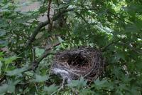 ヒヨドリの巣 - 写真を主とした日記です