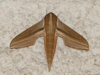 縄文貝塚の草原に舞う蝶たち、初見の蛾コスズメも - 花と葉っぱ