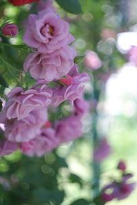 バラに恋して・・・3 - aya's photo