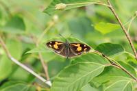 フジミドリシジミ幻でした - 蝶のいる風景blog