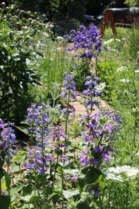 青い花が冴える小径 - ペコリの庭 *