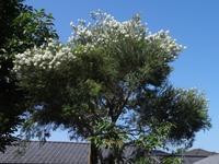 ティーツリー - だんご虫の花
