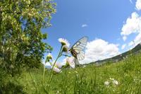 佐久市のウスバアゲハ(2018/05/20) - Sky Palace -butterfly garden- II