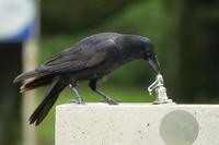 カラスの水飲みとムクちゃんの水浴び - *Toypoodle  x3 + Birds*