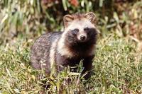 三月の多摩動物公園~もふもふタヌキと去り行く景色 - 続々・動物園ありマス。