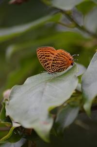 キナンウラナミアカシジミ5月26日 - 超蝶