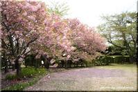 桜色の絨毯 2(平岡樹芸センター) - 北海道photo一撮り旅