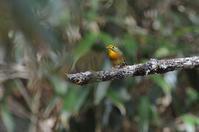 怒り沸々と/ ソウシチョウ・・・美しい籠脱け鳥 - 赤いガーベラつれづれの記