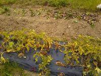 久々に南国畑の様子 - 化学物質過敏症・風のたより2