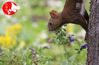 春のかわいいエゾリスたち - イチガンの花道