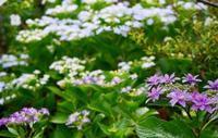 紫陽花の海、葡萄の暖簾 - 東京ベランダ通信