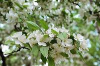 ズミの花とリハビリ夫婦との励まし合い - 照片画廊