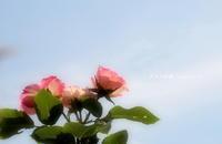 ご近所さんにお邪魔して・・ - 花々の記憶    happy_momo