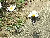 20180526 【蝶】ジャコウアゲハ2 - 杉本敏宏のつれづれなるままに