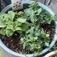 栄養系のお花の寄せ植え - sola og planta ハーバリストの作業小屋