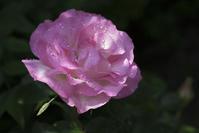 薔薇の花は雨の日が美しい - 一人の読者との対話