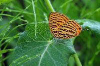ゼフィルスの季節 - 比企丘陵の自然