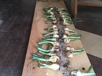 玉ねぎ収穫 - Tottori Style
