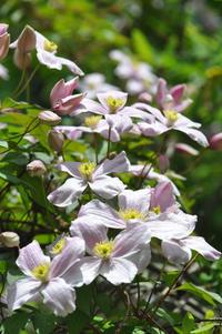 八ヶ岳蓼科高原オーベルジュシャレーグリンデルガーデンナウ 次々に開花 - 蓼科高原オーベルジュ シャレーグリンデルで四季を愉しむ