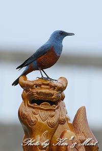シーサー「イソヒヨドリ」さん♪ - ケンケン&ミントの鳥撮りLifeⅡ