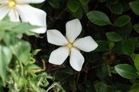 クチナシの花弁の数を数えるのが朝散の一番の楽しみ!ナンテ(^^; - 『私のデジタル写真眼』