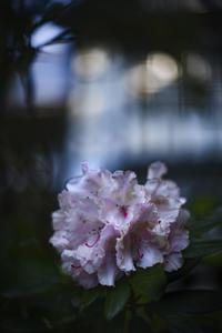 石楠花(しゃくなげ) - たなぼた