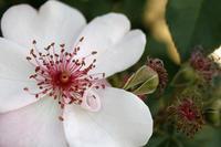 花は朽ちますが、バラは朽ち方も美しい気がします。 - みるはな写真くらぶ