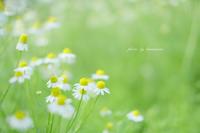 カミツレの里 - Photographie de la couleur