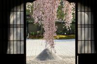 桜咲く京都2018 高台寺のしだれ桜 - 花景色-K.W.C. PhotoBlog