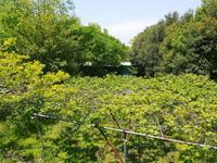 水源キウイ開花から着果までの様子今年(平成30年度)も無農薬で育て販売いたします! - FLCパートナーズストア
