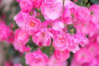 Rose festival - Une fleur