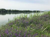 色々試しに淀川へ - WaterLettuceのブログ
