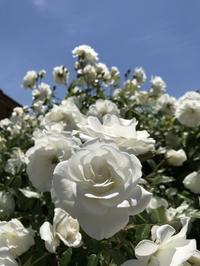 満開の薔薇でいっぱいです。 - るなとゆずと * 私の時間 ♪
