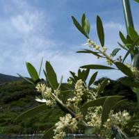 オリーブ開花@島のガーデン - せらぴすとDiary