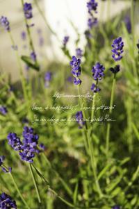 Lavender - 野の花薬草綴り帖