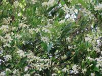 ほたるが飛ぶ時期に咲くテイカカズラ - 白壁荘だより  天城百話