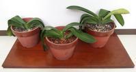 胡蝶蘭の植え替え - 柚の森の仲間たち