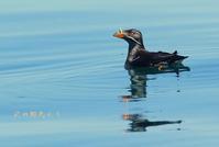 ウトウ - 北の野鳥たち