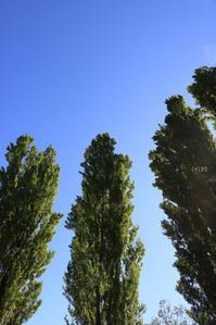 静寂のポプラ - CHIROのお庭しごと